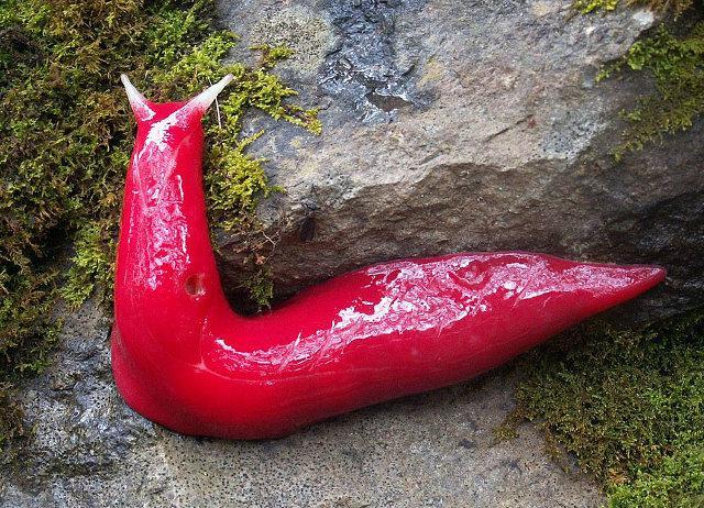 giant-pink-slug