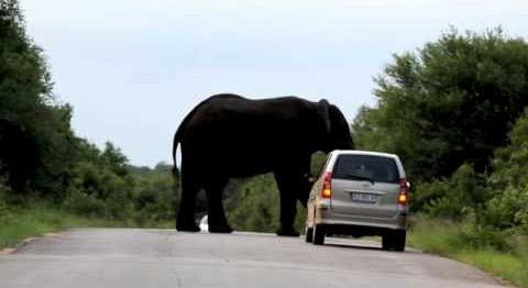 elephant-by-car