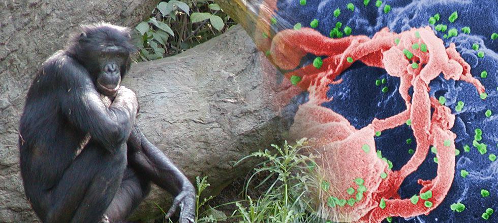 hiv-apes
