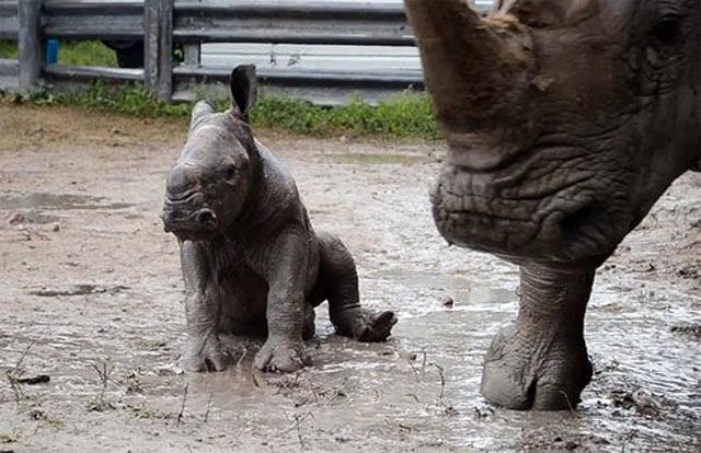 baby-Southern-White-Rhinoceros.jpg.492x0_q85_crop-smart